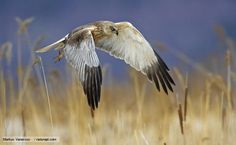 Western (Eurasian) Marsh-Harrier - Circus aeruginosus - This large harrier is a bird of prey belonging to the family Accipitridae. It is found from temperate and subtropical western Eurasia and adjacent Africa