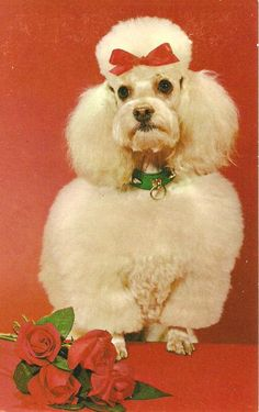 They match your ugly christmas sweater. Vintage poodles photo