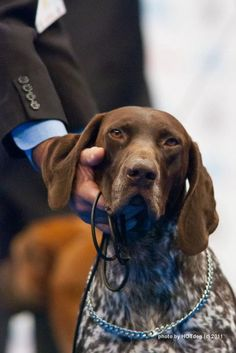 Looks like Lokee ~ A wonderful member of the family~ German Shorthaired Pointer