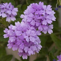 """Verbena  """"The numerous selections of this flower are some of the garden's most colorful, useful, and easy-to-grow plants. They bloom in late spring, thrive in heat, and tolerate drought.""""  One of Southern Living's Top 10 Plants to Beat the Summer Heat."""