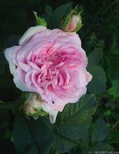 Rose Queen of Denmark.