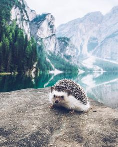 Super Cute Animals, Cute Funny Animals, Cute Baby Animals, Animals And Pets, Happy Week End, Baby Hedgehog, Wanderlust, Creature Feature, Mans Best Friend