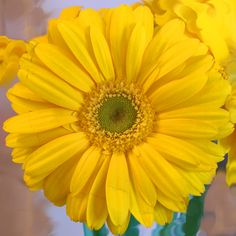 Yellow Gerber Daisy - potentially for Philanthropy Event centerpieces