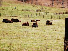 hollow hill buffalo farm, paint bank, va