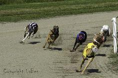 La course de lévriers #3