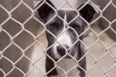 THIS IS IT! WILL BE EUTHANIZED 2/21 @ NOON IF NO ONE COMES FOR HER. RESCUERS/ADOPTERS. FOSTERS are great too!!! ONLY 6 MOS OLD! Staffordshire Terrier mix female 6 months old  Kennel A26 ***$51 to adopt  Odessa, TX Animal Control https://www.facebook.com/speakingupforthosewhocant/photos/a.248402621850650.69312.248355401855372/733038453387062/?type=1&theater