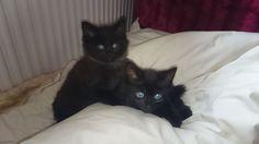 Beautiful Black Kittens   Beautiful black kittens for sale   Milton Keynes…