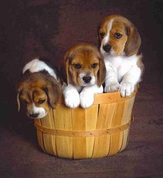Are you interested in a Beagle? Well, the Beagle is one of the few popular dogs that will adapt much faster to any home. Cute Beagles, Cute Puppies, Dogs And Puppies, Beagle Breeds, Best Dog Breeds, Baby Beagle, Beagle Puppy, Pet Dogs, Dog Cat