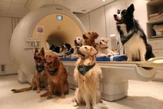 Dogs have the ability to distinguish vocabulary words and the intonation of human speech through brain regions similar to those that humans use, a new study reports.