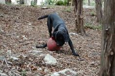 Minnie - TX is an adoptable Fila Brasileiro Dog in Monroe, NJ. Minnie is a 1- 1.5 year old Fila Brasileiro. When Minnie was first brought into rescue, it was believed that she was a mixed breed dog. H...
