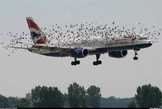 Plane taking off into a flock of birds