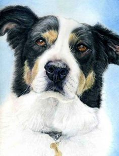 """Artist Linda Smallbones. Faber castell Colour pencil on Fabriano classico watercolour paper 12X10 inch of our friends border collie """"Taffy"""" We know this dog very well and he has a lovely sweet nature. the ref photo for this is my own. https://www.facebook.com/linda.smallbones.5?fref=photo"""
