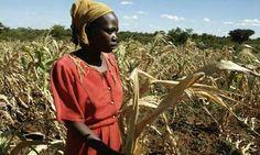 UN Warns Of Looming Worldwide Food Crisis In 2013 (Zimbabwe farmer struck by drought)