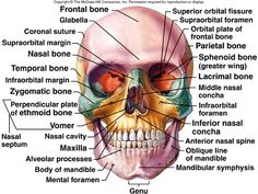 Anatomy Reference Axial Skeleton II and Appendicular Skeleton Anatomy Head, Anatomy Bones, Human Body Anatomy, Human Anatomy And Physiology, Anatomy Study, Anatomy Reference, Anatomy Organs, Skin Anatomy, Axial Skeleton