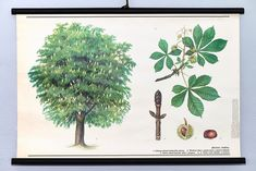 Vintage Chestnut Pull Down Chart. Conkers, Vintage School, Botanical Wall Art, Herbs, Plants, Poster, Chart, Home Decor, Decoration Home