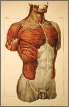 Illustrated Anatomical Atlas. By Jean-Marc Bourgery and Claude Bernard, and the anatomist and artist Nicolas-Henri Jacob. Anterior view of the superficial muscles of the trunk. © Coll. BIU Santé (Paris).
