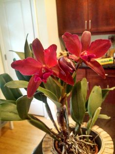 Cattleya - my collection