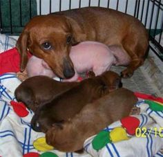 The best of a Doxie's maternal love.  Dachshund and Pink the Pig