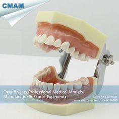 151.32$  Watch now - http://alif77.worldwells.pw/go.php?t=32623397270 - CMAM-DENTAL04 Anatomical Model Type Dental Study Model with Soft Gum 151.32$
