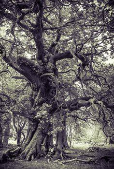~~Headless Horseman Tree   National Trust, Ashridge Estate, Hertfordshire, England, UK   by Starting Out~~