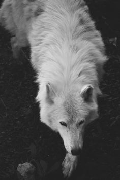 White wolf.  Please support wolf reintroduction into the wild!