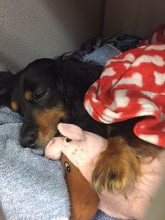 Sometimes when you're in recovery (especially after spinal surgery!), you need a blanket and your favorite toy to snuggle with.  Sweet miss Penny is doing great after her procedure with Dr. Carley Giovanella at our Neurology & Neurosurgery location! #shhhhhh #Pennyissleeping #GCVS