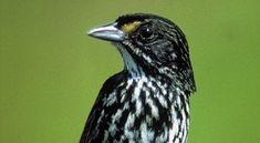 The Dusky Seaside Sparrow an Extinct Species at Bagheera