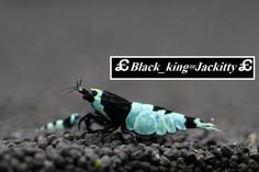 black23blackw222.jpg 1,000×667ピクセル Jackitty shrimp