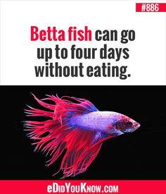did you know facts Betta Fish Tank, Beta Fish, The More You Know, Good To Know, Wtf Fun Facts, Random Facts, Crazy Facts, Random Stuff, Did You Know Facts