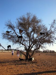 http://www.atlasobscura.com/places/the-tree-goats-of-morocco