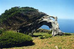 Un arbre couché par les vents puissants sur l'île d'El Hierro. Parfois appelée île de Fer en français, elle abrite 11.000 habitants et deviendra bientôt autosuffisante en énergie électrique grâce à une centrale hydro-éolienne. © Alain Gioda, IRD