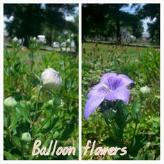 Balloon flowers are so unique. They blossoms look like small balloons before they open.