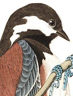 Chesnut-backed Titmouse, Black-capt Titmouse, and Chesnut-crowned Titmouse- John James Audubon's Birds of America Botanical Prints, Floral Prints, Tyto Alba, Bird Guides, Black Capped Chickadee, Audubon Birds, Birds Of America, John James Audubon, Bird Illustration