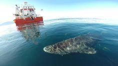 Der Grönlandhai oder Eishai (Somniosus microcephalus) lebt im Nordatlantik und…