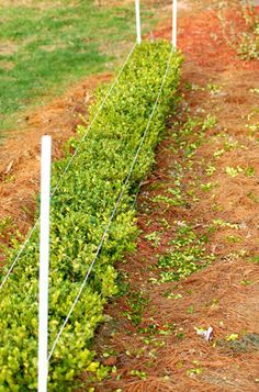 how to trim your hedges...