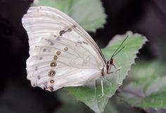 Morpho Butterfly, Animals, Animales, Animaux, Animal, Animais