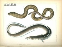 Perry's expediton Fish XI MXI-1: Muraena kidako ウツボ Simoda (下田) p283 XI-2: Anguilla ウナギ Simoda (下田) p282