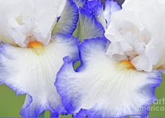 A portrait image of one of the beautiful tall bearded iris varieties that bloom at the famous New Jersey Presby Memorial Iris Gardens. Blue Artwork, Large Beach Towels, Iris Garden, Portrait Images, Iris Flowers, Bedroom Art, Custom Greeting Cards, Photo Contest, Amazing Photography