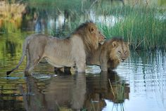 Chobe National Park, National Parks, Tour Operator, Africa Travel, Crocodile, Mammals, Lions, Wilderness, Safari