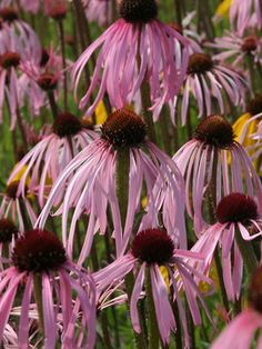 Pale Purple Coneflower- attracts butterflies and likes dry soil to conserve water