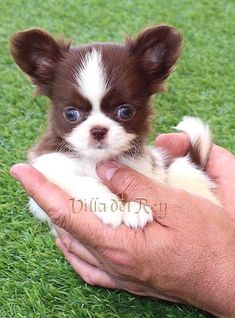 White Chihuahua, Long Haired Chihuahua, Dachshund Puppies, Chihuahua Puppies, Baby Puppies, Cute Puppies, Cute Dogs, Chihuahuas, Cute Animal Pictures