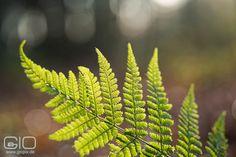 Buchenfarn, besonders schön wenn er vom Licht durchstrahlt wird  http://www.giovanni-malfitano.de/2016/01/07/auf-schatzsuche-in-den-w%C3%A4ldern-bei-raderbroich/ #Naturfotografie #Fotografie