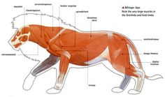 anatomy of a male lion