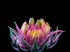 Remarkable Photos Capture the Light That Plants Emit | Juvenile blanket flower | Credit: Craig Burrows | From Wired.com