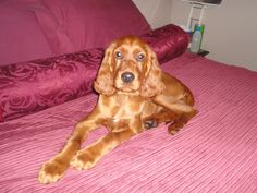 Lady Shelleen  11week old Irish Setter