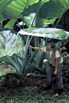 Image detail for -Robusta is the largest of the Elephant Ear Plants in the world ...is this for real??