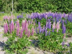 Komealupiini - Lupinus polyphyllus Perennials, Plants, Garden