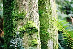 forest, moss-covered trunks