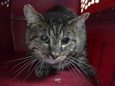 TREBLE - A1097962 - - Brooklyn  Please Share:***TO BE DESTROYED 12/01/16*** TREBLE IS FRIENDLY AND PLAYS GENTLY – CAME IN WITH HOUSEMATE SNICKERS – A1097961 WHO IS ALSO LISTED TONIGHT! -  Click for info & Current Status: http://nyccats.urgentpodr.org/treble-a1097962/