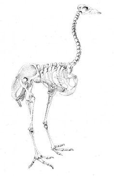 Extinct bird skeleton by Edwina Hannam